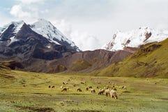 Pecore che pascono in montagne, Perù Immagini Stock
