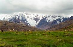 Pecore che pascono in montagne, Perù Fotografia Stock Libera da Diritti
