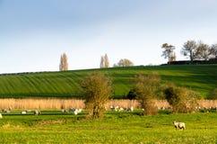 Pecore che pascono nei campi verdi dell'azienda agricola sotto un cielo blu Fotografia Stock Libera da Diritti