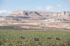 Pecore che pascono nei pascoli Immagini Stock