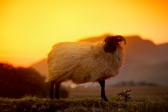 Pecore che pascono nei pascoli verdi su un tramonto Le pecore ed il bambino adulti figliano l'alimentazione nei prati fertili del Fotografia Stock
