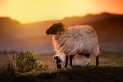 Pecore che pascono nei pascoli verdi su un tramonto Le pecore ed il bambino adulti figliano l'alimentazione nei prati fertili del Fotografie Stock