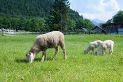 Pecore che pascono nei prati della Baviera Immagine Stock Libera da Diritti