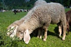 Pecore che pascono nei prati della Baviera Fotografia Stock Libera da Diritti