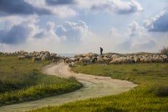 Pecore che pascono nel campo Fotografie Stock