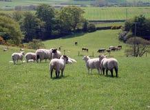 Pecore che pascono nel campo Fotografie Stock Libere da Diritti