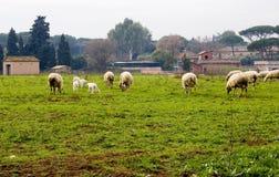 Pecore che pascono nel campo Fotografia Stock