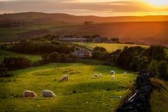Pecore che pascono nel distretto di punta Inghilterra Fotografie Stock Libere da Diritti