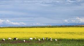 Pecore che pascono nel giacimento giallo del seme di ravizzone Fotografia Stock