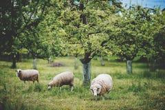 Pecore che pascono nel giardino di primavera Fotografia Stock Libera da Diritti