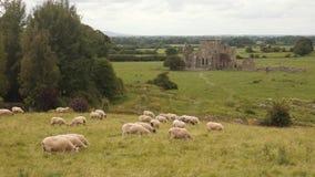 Pecore che pascono nel paesaggio irlandese tipico con le rovine archivi video