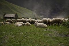 Pecore che pascono nel prato Fotografia Stock