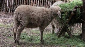 Pecore che pascono nel recinto chiuso
