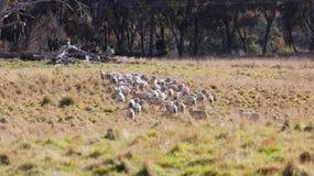 Pecore che pascono nell'azienda agricola vicino a Oberon. NSW. L'Australia. Immagini Stock Libere da Diritti