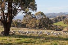 Pecore che pascono nell'azienda agricola vicino a Oberon. NSW. L'Australia. Fotografia Stock Libera da Diritti