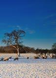 Pecore che pascono nella neve Immagini Stock