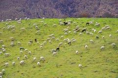 Pecore che pascono nella valle Fotografie Stock