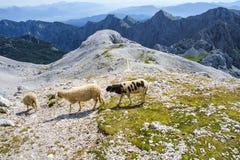 Pecore che pascono nelle alpi di Julian Immagine Stock