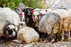Pecore che pascono nelle montagne Immagine Stock
