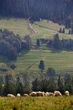 Pecore che pascono nelle montagne Fotografie Stock Libere da Diritti