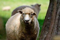 Pecore che pascono nelle tonalità degli alberi su un campo verde Fotografia Stock Libera da Diritti