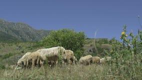 Pecore che pascono nelle zone di montagna stock footage