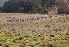 Pecore che pascono. NSW. L'Australia. Fotografia Stock