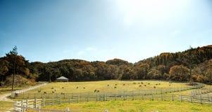 Pecore che pascono sotto il cielo di autunno Immagine Stock Libera da Diritti