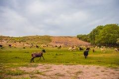 Pecore che pascono su un prato Natura del Kazakistan Fotografie Stock