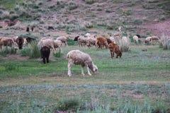 Pecore che pascono su un prato Natura del Kazakistan Fotografia Stock