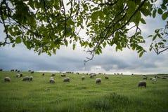 Pecore che pascono su una collina Immagini Stock