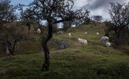 Pecore che pascono su una collina fra gli alberi del cratego Immagine Stock