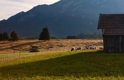 Pecore che pascono sul pascolo alpino Fotografie Stock