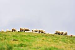 Pecore che pascono sul pascolo alpino Fotografia Stock Libera da Diritti