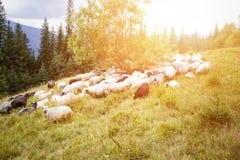Pecore che pascono sul pascolo della montagna Fotografie Stock Libere da Diritti