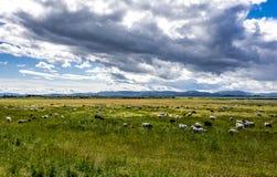 Pecore che pascono sul pascolo verde Fotografie Stock Libere da Diritti