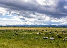 Pecore che pascono sul pascolo verde Fotografia Stock Libera da Diritti