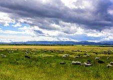Pecore che pascono sul pascolo verde Fotografia Stock