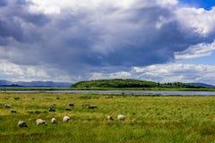 Pecore che pascono sul pascolo verde Immagine Stock