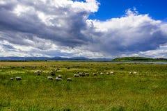 Pecore che pascono sul pascolo verde Immagini Stock Libere da Diritti