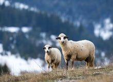 Pecore che pascono sul pendio di collina con la foresta nel fondo Fotografia Stock Libera da Diritti