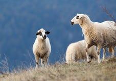 Pecore che pascono sul pendio di collina con la foresta nel fondo Fotografia Stock