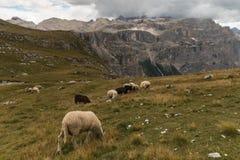 Pecore che pascono sul prato alpino in dolomia Fotografia Stock