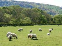 Pecore che pascono sul terreno coltivabile fotografia stock libera da diritti