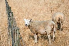 Pecore che pascono sull'erba ingiallita Fotografia Stock