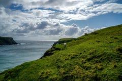 Pecore che pascono sulle scogliere dell'Irlanda Fotografia Stock
