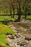 Pecore che pascono tramite il flusso a Brotherswater Immagini Stock