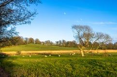 Pecore che pascono in un'azienda agricola sotto un cielo blu Immagini Stock