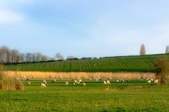 Pecore che pascono in un'azienda agricola sotto un cielo blu Fotografia Stock