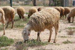 Pecore che pascono in un campo Fotografia Stock